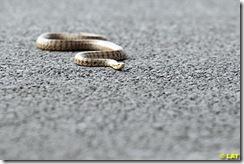 kore pistinde yılan
