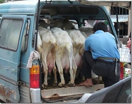 Fresh-milk-to-go-in-China-02